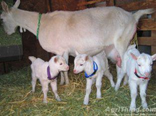 Best Goats Available on Cheap Prices